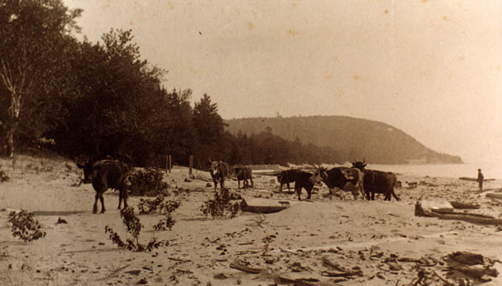 Historical, Cows on the Beach in Leland, MI
